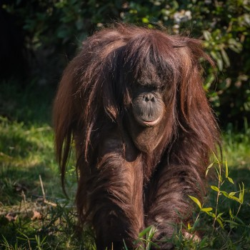 Bornean orangutans are among the many species being pushed to the brink of extinction by unsustainable oil palm plantations