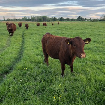 Red Poll cows grazing grass