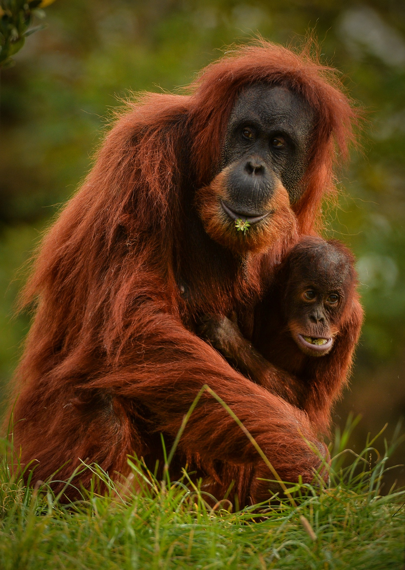 Sumatran orangutans are among the many species being pushed to the brink of extinction by unsustainable oil palm plantations.